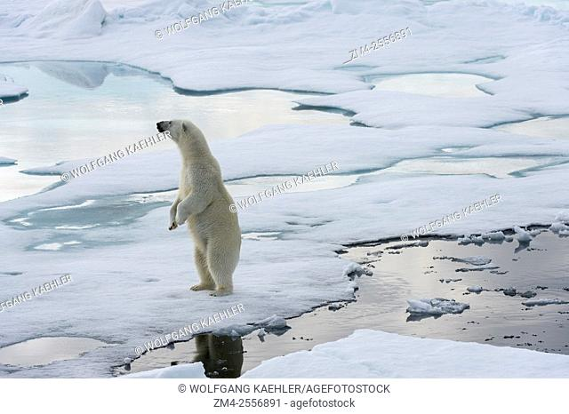 A polar bear (Ursus maritimus) is standing on the pack ice north of Svalbard, Norway