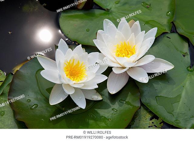 Two water lilies / Zwei Seerosen