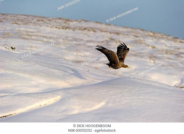 White-tailed Eagle (Haliaeetus albicilla) in flight above a fjord, Norway, Flatanger