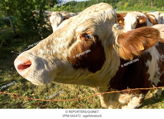 Photo d'illustration - Illustration picture Vache en pature Cow Koien Credit: JMQuinet/Reporters Reporters / QUINET