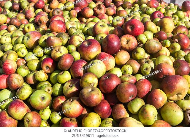 The apple comes from the Tian Shan forests, a boundary zone between China, Kazakhstan and Kyrgyzstan. With the expeditions to America