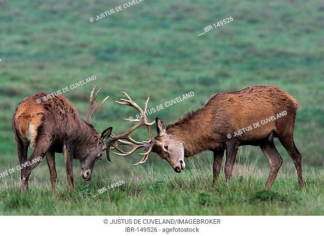 Fighting Red Stags during the rut (Cervus elaphus)