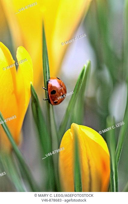 Seven spot ladybird  climbs a leaf in midst of yellow crocus. Coccinella septempunctata The beetle has raindrops glistening on her back from an overnight...