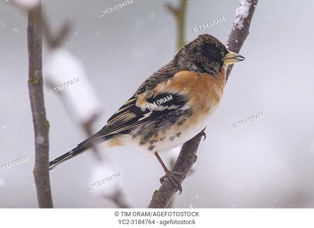 A male Brambling (Fringilla montifringilla) feeding in freezing conditions in a Norfolk garden