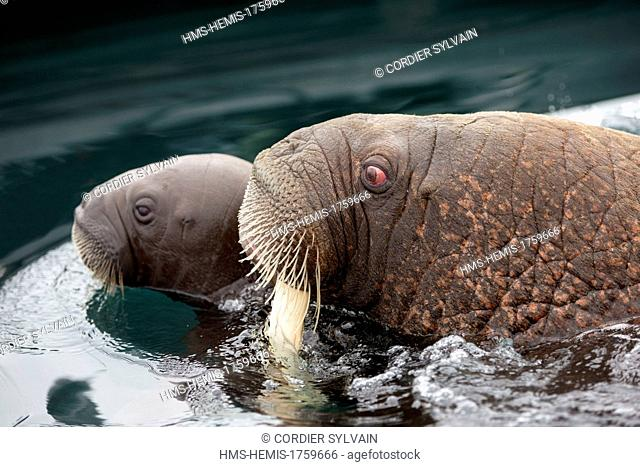 Russia, Chukotka autonomous district, Wrangel island, Pack ice, Pacific walrus (Odobenus rosmarus divergens), in the water, mother and young