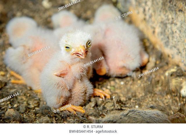 European Kestrel, Eurasian Kestrel, Old World Kestrel, Common Kestrel (Falco tinnunculus), chicks in a nesting box, one week old, Germany, Bavaria