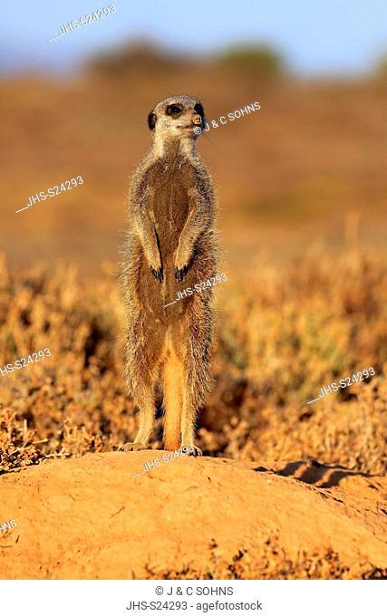 Suricate, (Suricata suricatta), Meerkat, adult alert standing upright at sunrise, on sentry, Oudtshoorn, Western Cape, South Africa, Africa