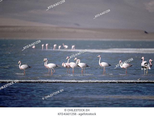 Andean flamingoes or Tococos (Kunza language) (Phoenicoparrus andinus) at the Negro Francisco Lagoon, Region III of Atacama, Chile, South America