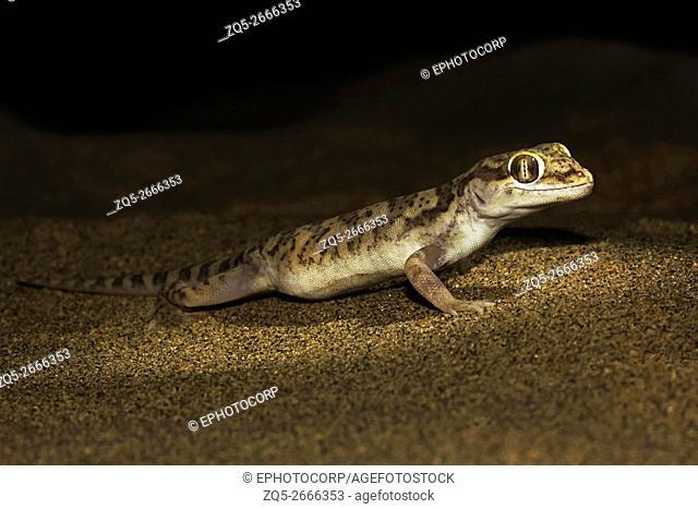 Sind Sand Gecko, Crossobamon orientalis. Sam Desert, Rajasthan, India