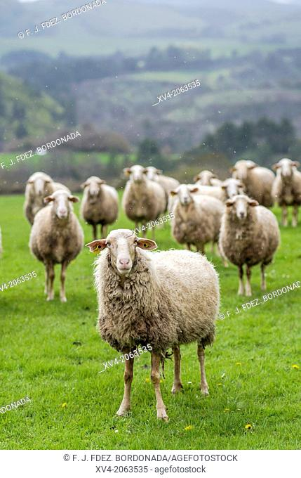 Livestock at Salazar Valley, Navarre, Spain