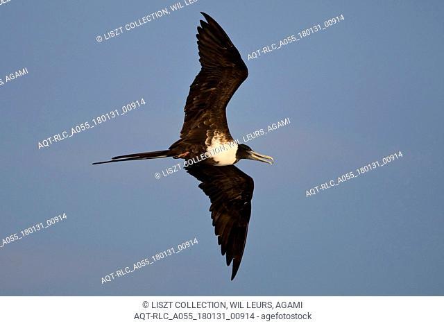 Magnificent Frigatebird female in flight Mexico, Magnificent Frigatebird, Fregata magnificens