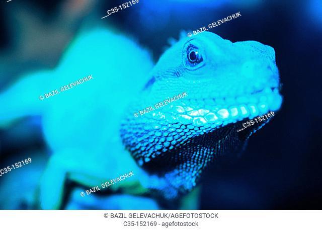 Chinese Water Dragon (Physignathus cocincinus)