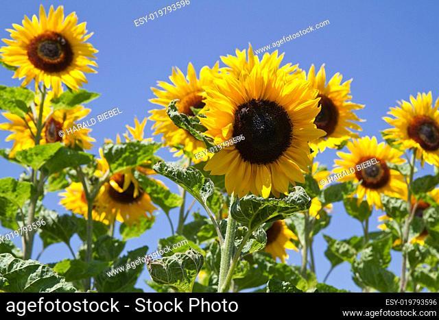 Blühende Sonnenblumen (Helianthus)