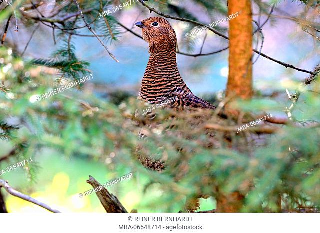 Black grouse in the forest, Tetrao tetrix