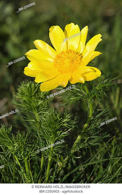 Spring Pheasant's Eye, Yellow Pheasant's Eye or False Hellebore (Adonis vernalis), Perchtoldsdorf Heath, Perchtoldsdorf, Lower Austria, Austria, Europe