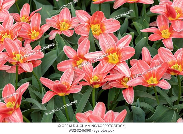 """Derived from the Greek word """"leiron, """" , the lily was so revered by the Greeks that they believed it sprouted from the milk of Hera, the queen of the gods"""