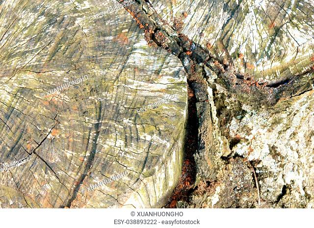 Amazing pattern of mushroom on peel of tree trunk at forest, floral parasite on bark surface make rough surface, texture from white fungus so abstract