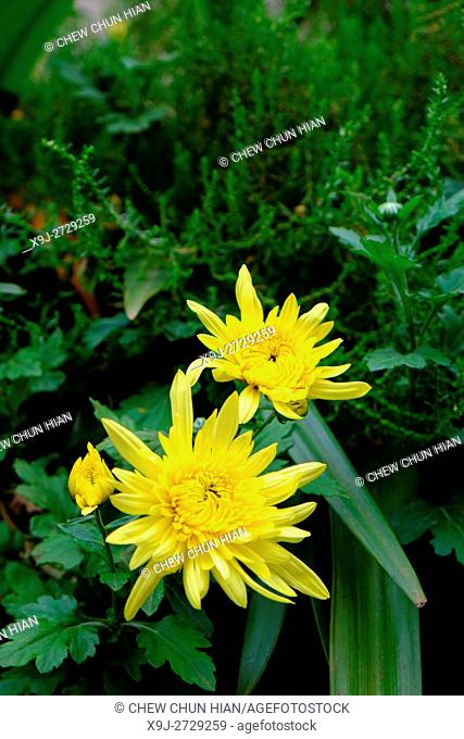 chrysanthemum,,Daisy Flowers, asia