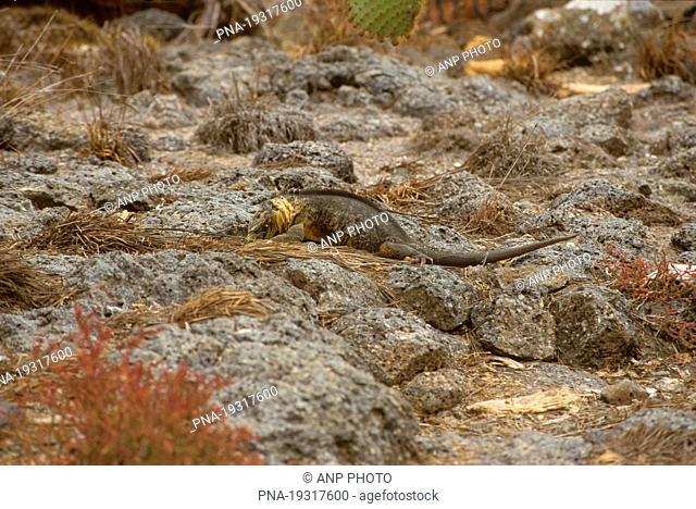 Santa Fe land Iguana, Barrington Land Iguana Conolophus pallidus - Isla Santa Fe, Barrington Island, Galapagos Islands, Ecuador, South America
