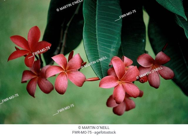 Plumeria rubra, Frangipani / West Indian Jasmine / Monoi
