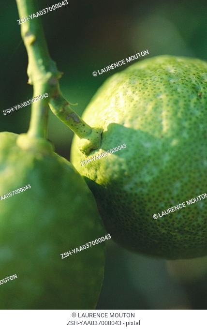 Kaffir lime, extreme close-up