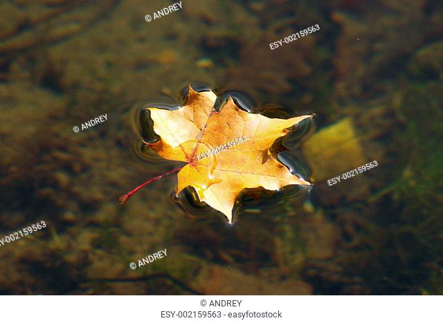 The autumn maple leaf lying on water