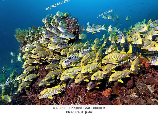 School of Ribboned sweetlips (Plectorhinchus polytaenia), and Diagonal-banded Sweetlip (Plectorhinchus lineatus) swimming over coral reef, Raja Ampat