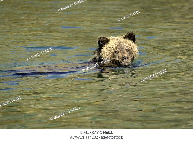 Grizzly Bear (Ursus arctos horribilis), COY (Cub-Of-the-Year), First year Cub, Fall, Autumn, swimming in salmon stream, Central British Columbia, Canada