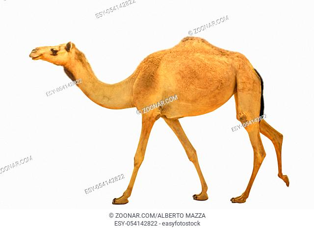 A lonely young wild dromedary, Camelus dromedarius, also called Arabian camel, walkin isolated on white background. side view. United Arab Emirates