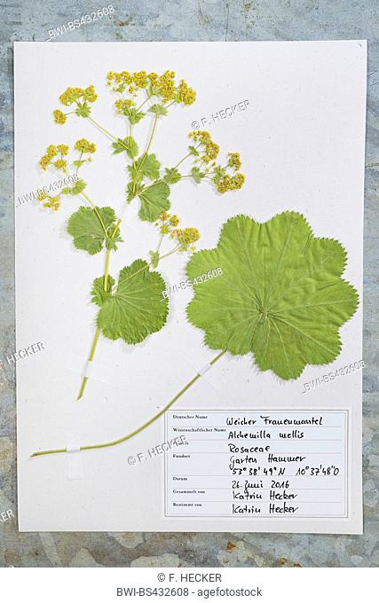 lady's mantle (Alchemilla mollis), ready herbarium sheet, Germany