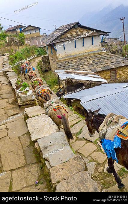 Carrying Mules Caravan, Mountain Footpath, Trek to Annapurna Base Camp, Annapurna Conservation Area, Himalaya, Nepal, Asia