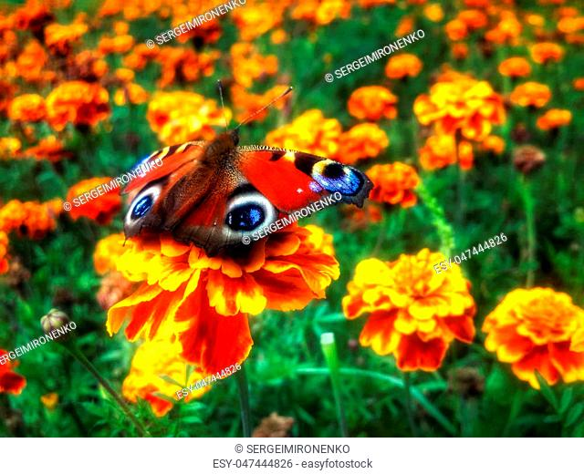 Red Butterfly Inachis io at the beautiful flower tagete