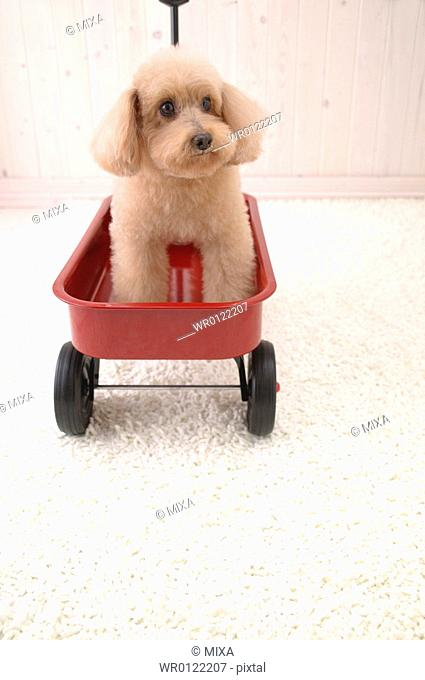 Toy Poodle sitting in a cart