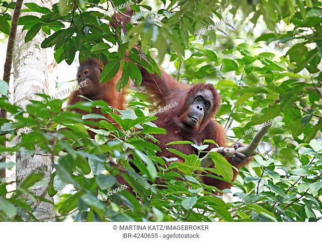 Orangutans (Pongo) in Semenggoh Wildlife Sanctuary in Kuching, Sarawak, Borneo, Malaysia