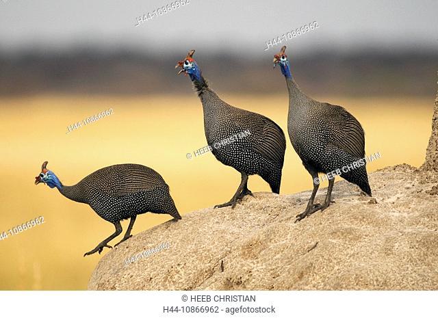 Helmeted Guineafowl, Numida meleagris, Termite mound, Fisher's Pan, Namutoni, Etosha, National Park, Kunene Region, Namibia, Africa, Travel, Nature