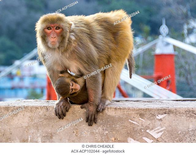 rhesus macaque (Macaca mulatta) at Muni Ki Reti, sometimes known as Lakshman Jhula, a bridge crossing the Ganges,  Rishikesh, Tehri Garhwal district