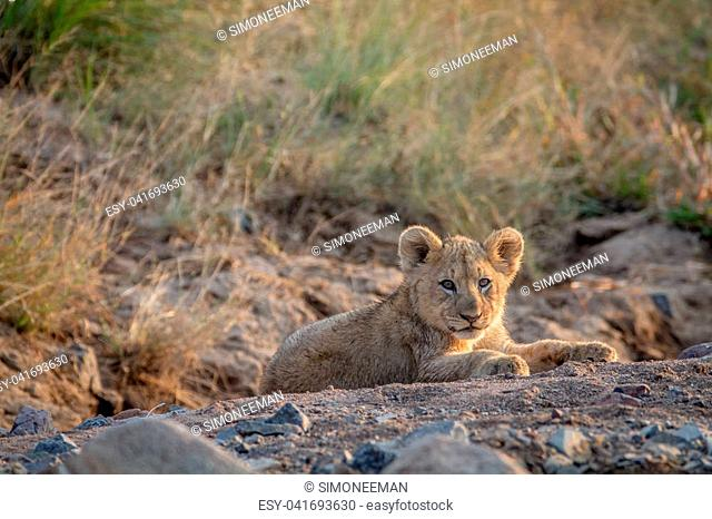 Lion cub laying in a dry riverbed in the Pilanesberg National Park, South Africa
