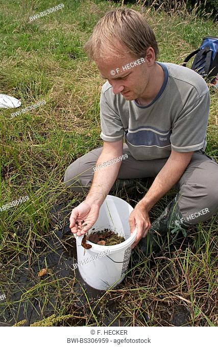 Green toad, Variegated toad (Bufo viridis), young toads being released into a wetland by a biologist as part of an amphibian protection program