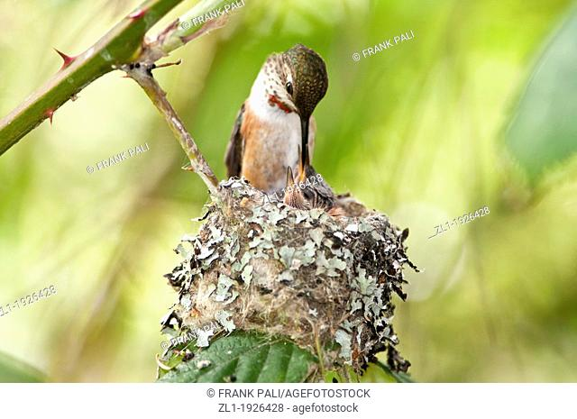Mother rufous selasphorus rufous on edge of nest ready to feed baby Ladner, British Columbia