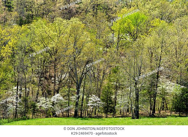 Spring foliage leafing out in deciduous trees, flowering dogwood, Gassville, Arkansas, USA
