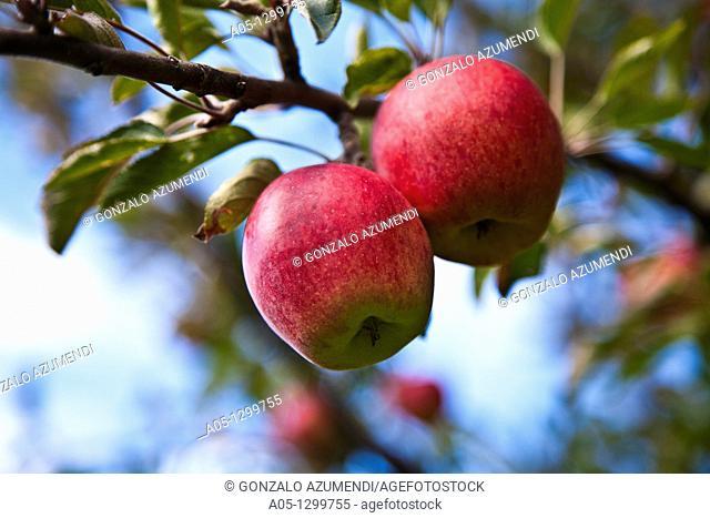 Apple tree  Apples  Durro  Boi - Taull Valley. Alta Ribagorça, Lleida province, Catalonia, Spain