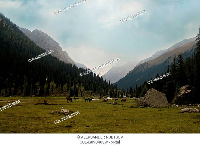 Herd of horses in mountain valley landscape, Kyrgyzstan, Central Asia