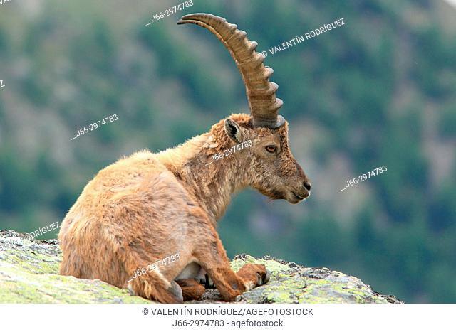 Ibex (Capra ibex) in the Gran Paradiso national park. Italy