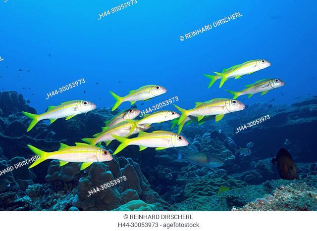 Shoal of Yellowfin Goatfish, Mulloidichthys vanicolensis, Christmas Island, Australia
