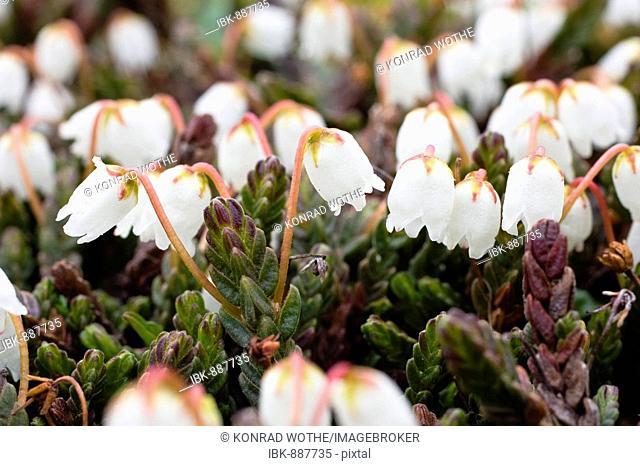 Arctic bell-heather or White Arctic Mountain Heather (Cassiope tetragona), Spitsbergen, Norway