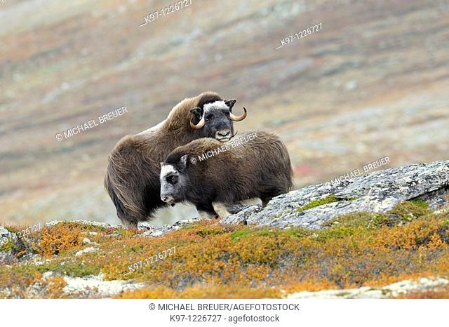 Muskoxen (Ovibos moschatus), Cow and calf, Autumn, Fall, Dovrefjell National Park, Norway, Europe