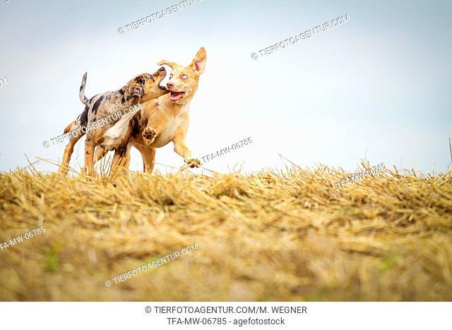 running Louisiana Catahoula Leopard Dog
