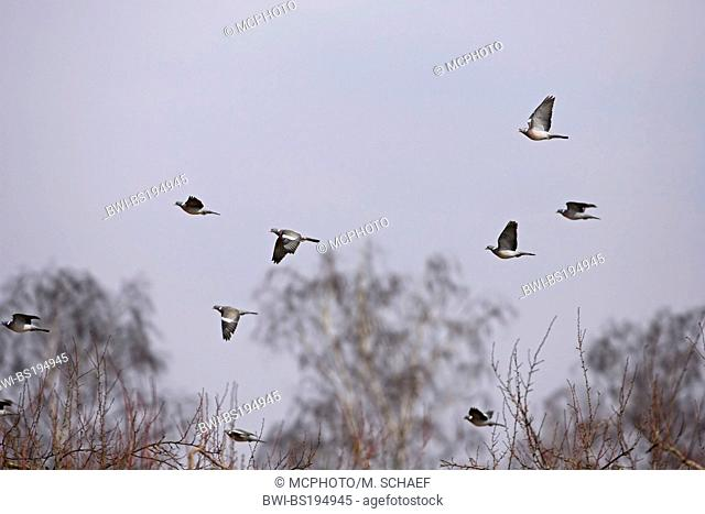 wood pigeon (Columba palumbus), flying flock, Germany