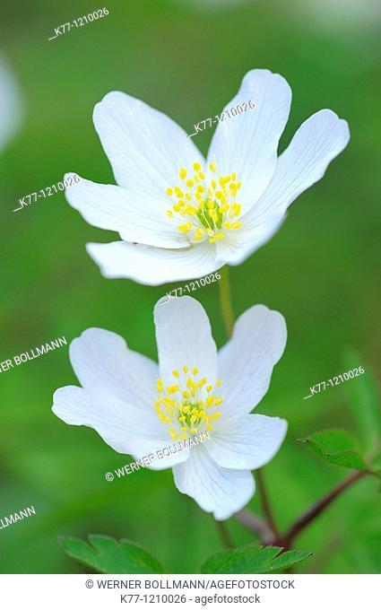 Wood Anemone (Anemone nemorosa), Sweden