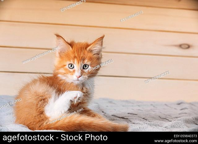 Funny Curious 10 Week Old Young Red Ginger Maine Coon Kitten Cat Sitting At Home Sofa. Coon Cat, Maine Cat, Maine Shag. Amazing Pets Pet. Portrait